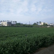 organic_green_oolong_3