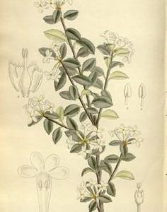 osmanthusflower