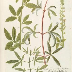 c-135-vitex-chastetree-a-bit-of-botany